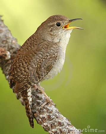 Free House Wren Royalty Free Stock Photo - 3740625