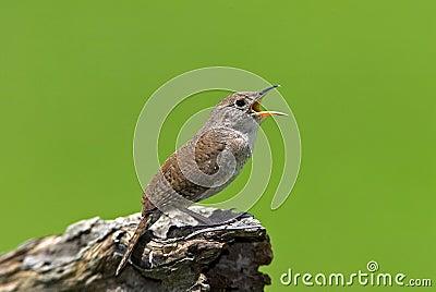House Wren (Troglodytes aedon)