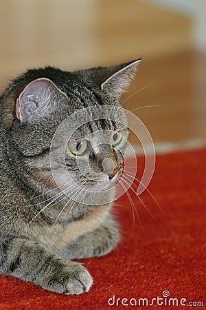 Free Housecat Stock Photos - 144393