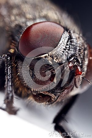 Housefly, close-up