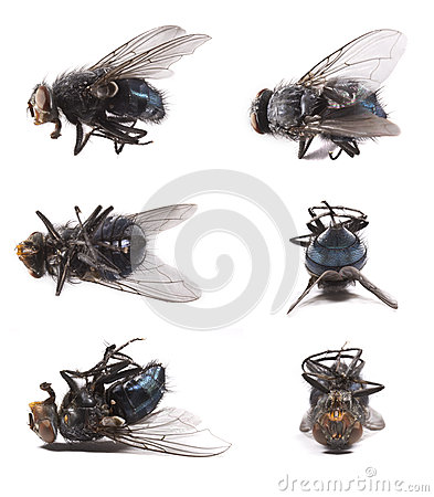Housefly, Musca domestica