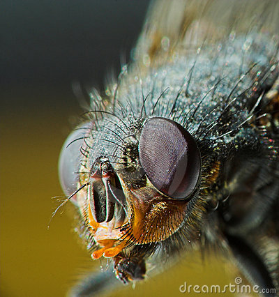 Housefly portrait