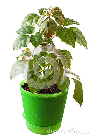Houseplant a cissus rhombifolia