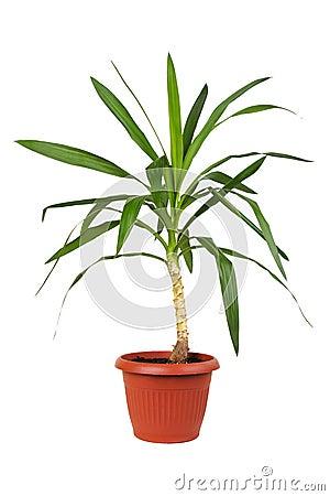 Houseplant dracaena in flowerpot