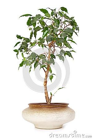 Houseplant ficus benjamina in flowerpot