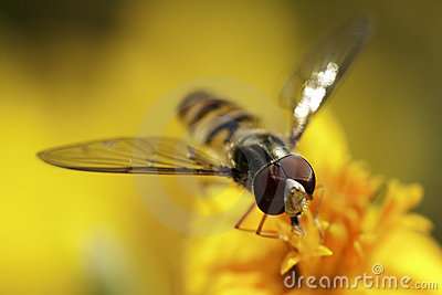 Hover fly.