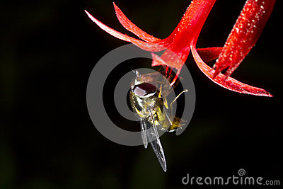 Hover fly with Scarlet Gilia