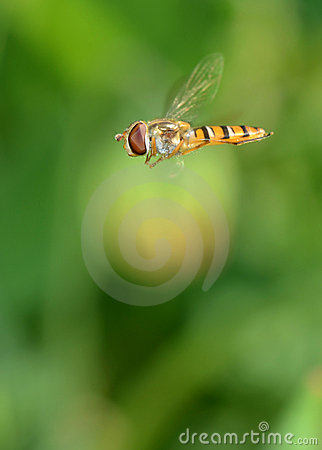 Hover Fly (Syrphus ribesii)