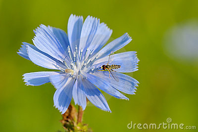 Hoverfly on chicory