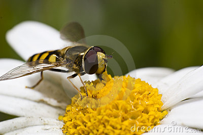 Hoverfly on daisy blossom