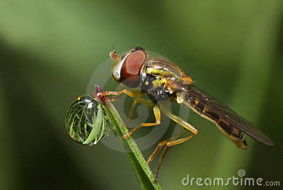 Hoverfly and dew