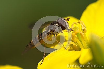 Hoverfly eating nectar