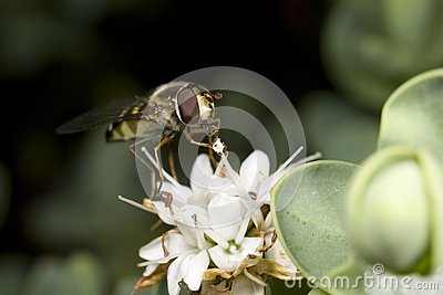 Hoverfly feeding on nectar of flower