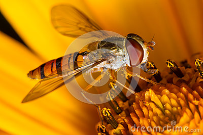 Hoverfly on the flower