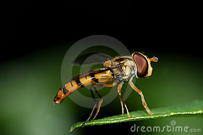 Hoverfly on green leaf