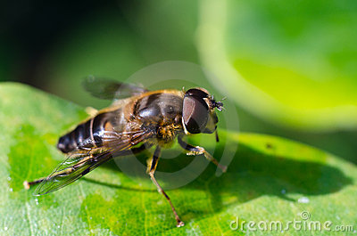 Hoverfly on a leaf