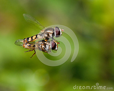 Hoverfly - Mile High Club
