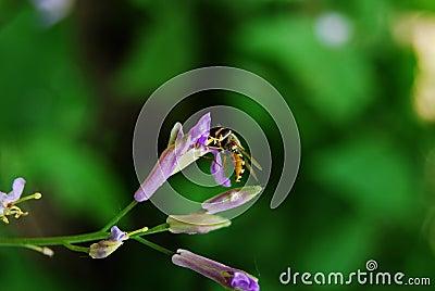Hoverfly on orychopragmus