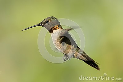 Hovering Hummingbird 2