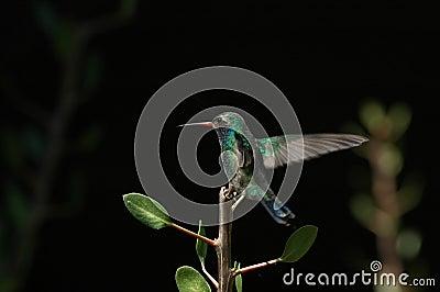 Hovering Hummingbird landing