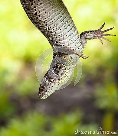 Hovering wild lizard