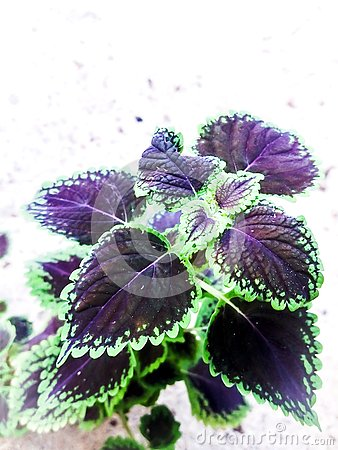 How to use coleus plant to desire Stock Photo