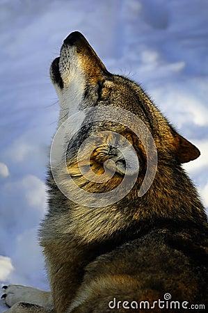 Howling European wolf