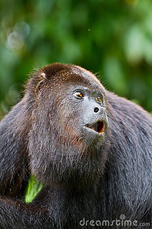 Free Howling Monkey In Belize Stock Photos - 18898653