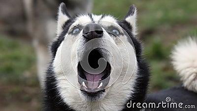 Howling Siberian husky