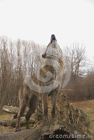 Free Howling Wolf Royalty Free Stock Photography - 29780287