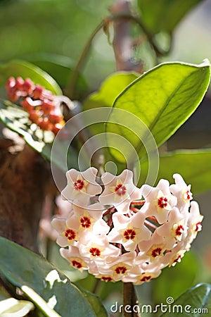 Free Hoya Flower Blossom Royalty Free Stock Photos - 93669498