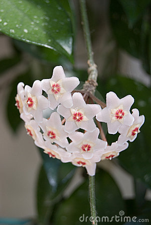 Free Hoya (Hoya Carnosa) Flower Cluster Royalty Free Stock Photos - 7112198