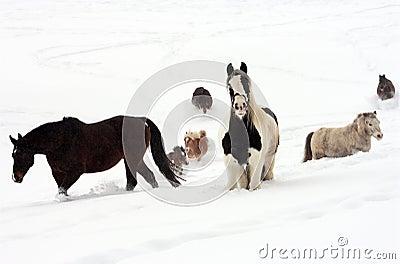 Hästsnow
