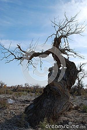 Hu yang tree3