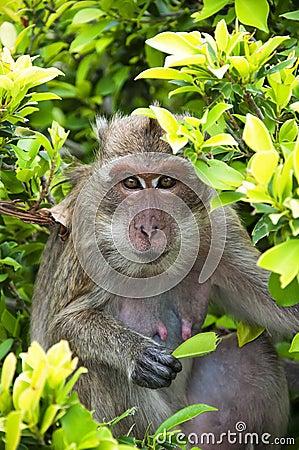 Hua Hin Monkey 03