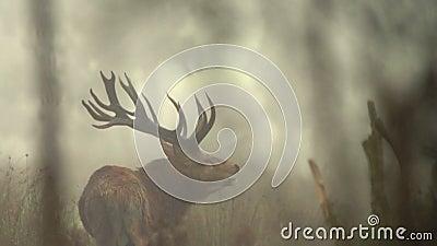 Huczenie jeleń