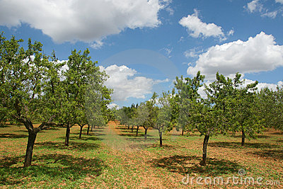 Huerta del árbol de almendra