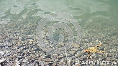 Huevas de la rana en un lago de la montaña con un caviar inferior de piedra que la rana nada en el marco metrajes