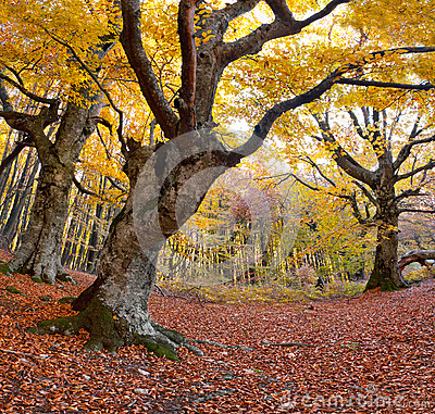 Huge beech in the forest