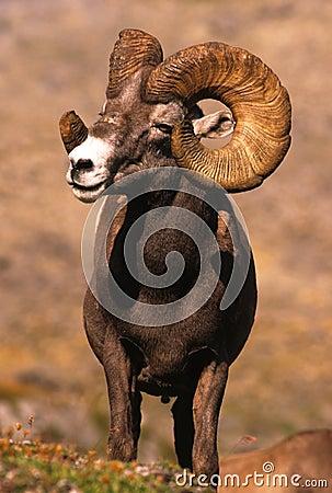 Huge Bighorn Sheep Ram