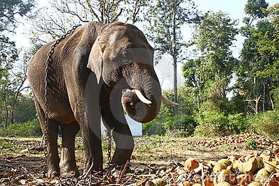 Huge Chained Elephant
