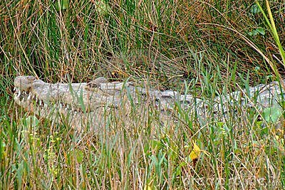 Huge crocodile hiding in the grass