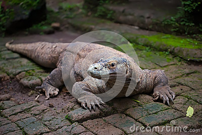 Huge dragon of Komodo
