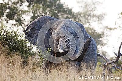Huge elephant bull