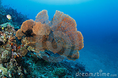 Huge fan coral in a tropical coral reef