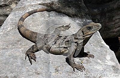 Huge Iguana