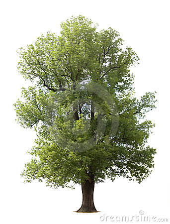 Free Huge Isolated Old Tree Stock Photography - 5947722