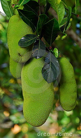 Huge jackfruit