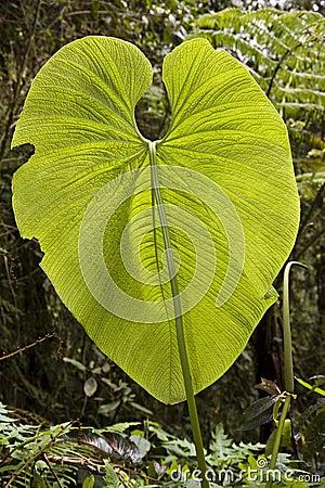 Huge leaf - Ecuador