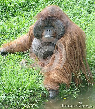 Huge male orangutan monkey,borneo, asia orange